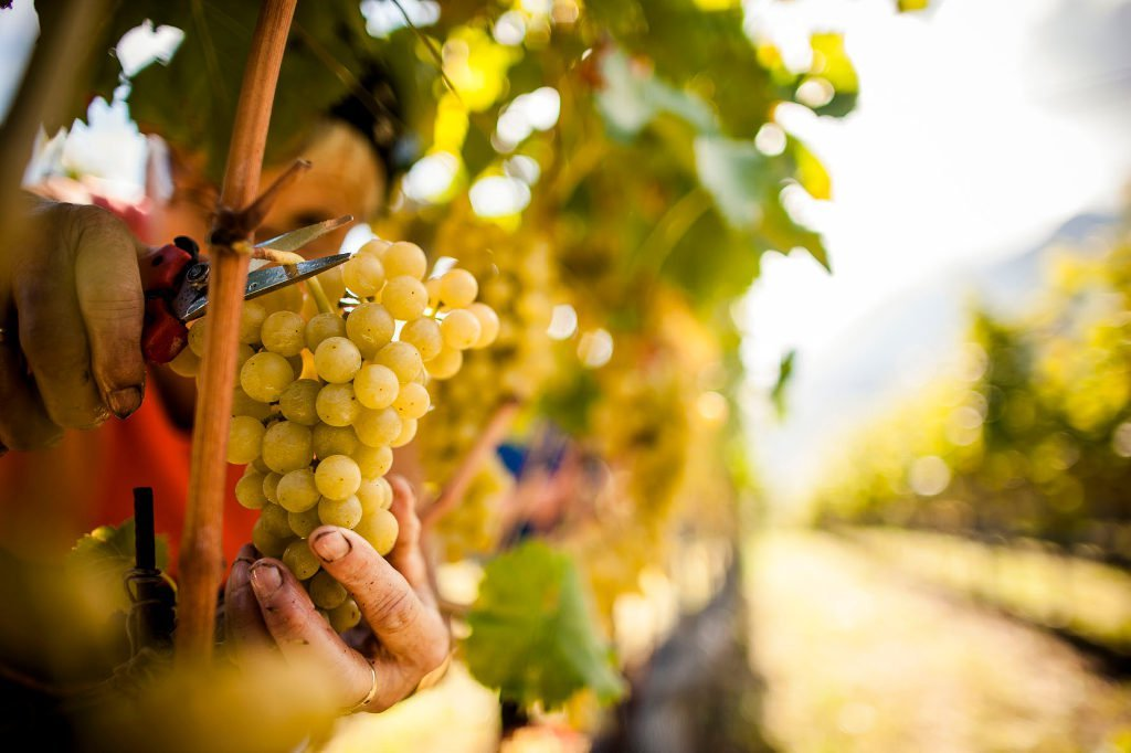 Vendemmia 2016 in Alto Adige