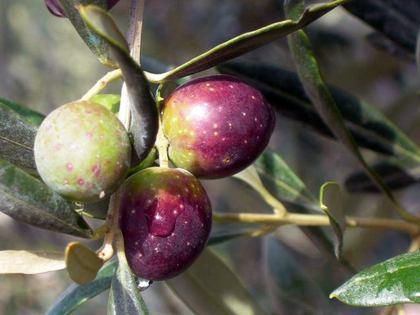 Valorizzazione e promozione dell'oliva cultivar Itrana