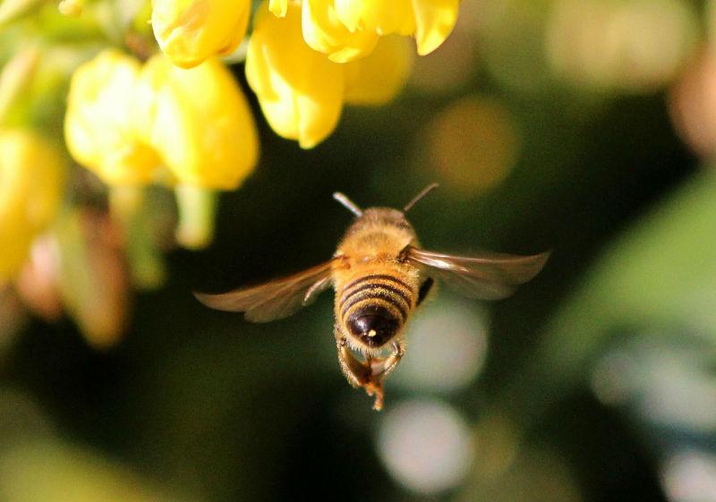 ape-impollinatrice