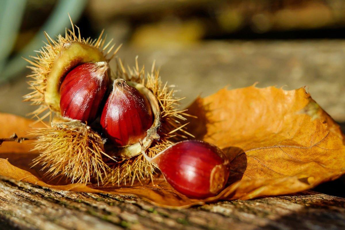Frutti autunnali: la castagna